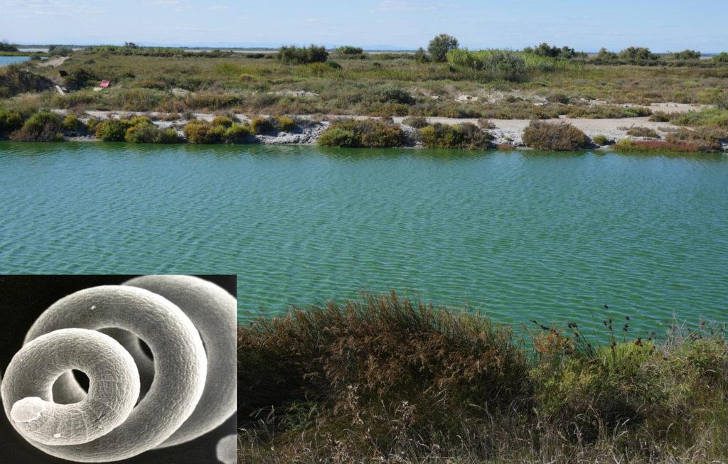 Spiruline de Camargue, découverte par Gilles en 1995.